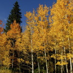 Wyoming Aspens