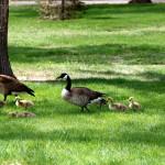 Goslings in Washington Park