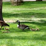 Goslings making their way across Washington Park, Denver