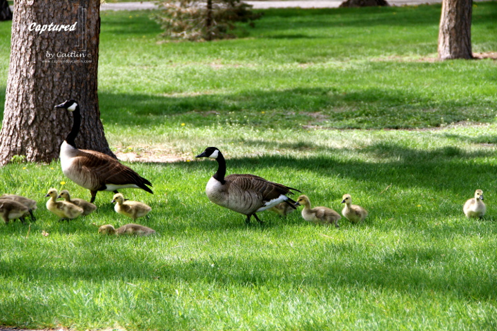 Goslings making their way across Washington Park, Denver