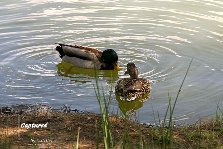 Dating Mallards, Washington Park, Denver